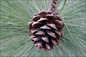 Closeup of a pine cone against green needles
